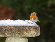 Robin in Snow by Graham Prentice