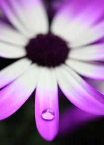 Aschenblume mit Wassertropfen von Falko Follert