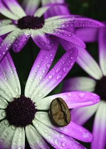 Kaffeebohne auf Aschenblume mit Wassertropfen von Falko Follert