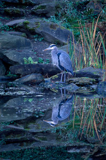 Heron Reflection 695 by Patrick O'Leary