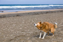Brown border collie shaking itself on the beach von kbhsphoto