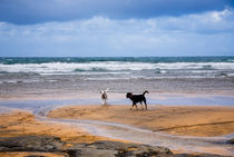 Two dogs playing on the beach, Ireland von kbhsphoto
