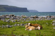 Cow and calf in a pasture near Doolin, County Clare, Ireland von kbhsphoto
