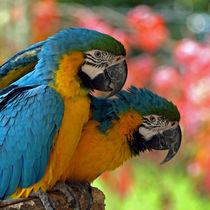 Papageien (parrots) Gelbbrustara von Dagmar Laimgruber