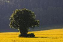 Baum im Raps von Wolfgang Dufner
