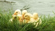 Ducklings by Tiffany Ann Perry