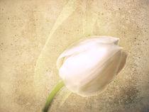 White Tulip von Fiona Messenger