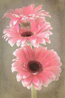 Three Pink Gerberas von Fiona Messenger