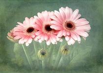 Pink Gerberas von Fiona Messenger
