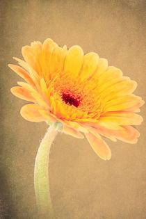 Bright Yellow Daisy von Fiona Messenger