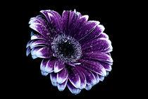 Purple Gerbera Daisy von Fiona Messenger