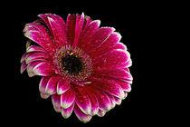 Pink Gerbera with water Droplets von Fiona Messenger