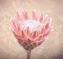 Pretty in Pink von Fiona Messenger