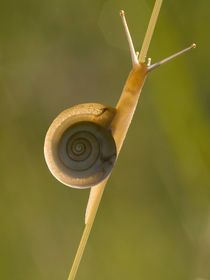 Snail on dewy grass  by Odon Czintos