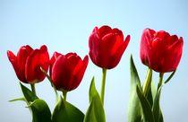 Frühlings-Tulpen-Gruß by Christine  Hofmann