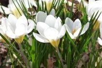 Krokus von flora