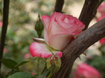 Pink and White Rose by alina8