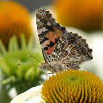 Distelfalter auf Echinacea von Dagmar Laimgruber