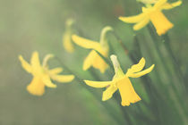 Daffodil Rhapsody von leavesnbloom