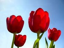 Tulpenpracht by Christine  Hofmann