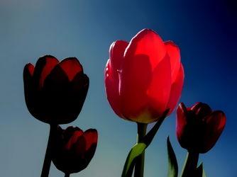 Tulpen-1005-ch-druck