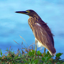 Pond Heron on Grass Varkala von serenityphotography