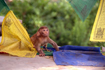 Baby Monkey Playing on Prayer Flags Swayambhu Step by serenityphotography