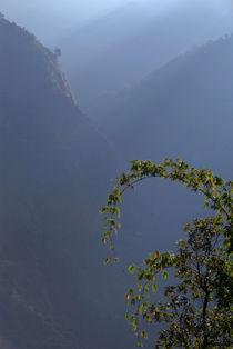 Bamboo-and-morning-mist-near-tatopani