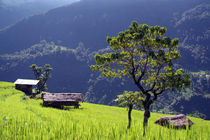 Bright-green-rice-field-nepal