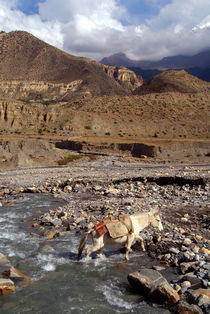 Horse Crossing River near Jomsom by serenityphotography