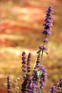 Lavendar Against Buckwheat von serenityphotography