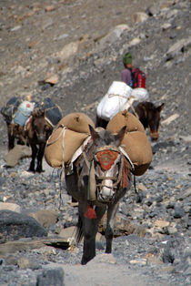 Mules Climbing Thorung La by serenityphotography