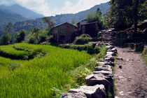 Rice Fields by the Path to Ghorepani by serenityphotography
