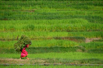 Woman-harvesting-crops-near-bhaktapur-02