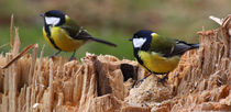 Kohlmeise - Great Tit by ropo13