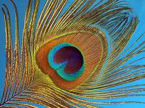 Pfauenfeder (feather, peacock) by Dagmar Laimgruber