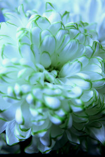 White Chrysanthemum by Elizabeth  Wilson