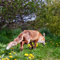 Red Fox von Stephen Mole