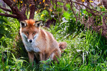 Red Fox by Stephen Mole