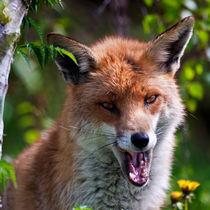 Red Fox von Stephen Mole