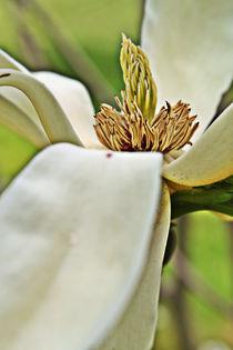 Magnolia by Daniel Poole