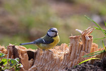 Blaumeise - Blue Tit by ropo13