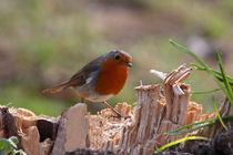 Rotkehlchen - Robin by ropo13