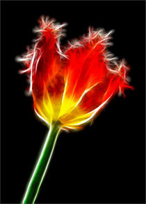 Parrot Tulip by Alice Gosling