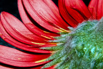 Red Gerbera Flower by Alice Gosling
