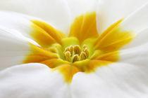 gelbe Blüte von Jens Berger