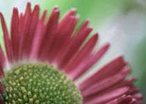 Bellis perennis by Jens Berger