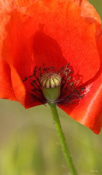 Poppy seed von Ines Schäfer