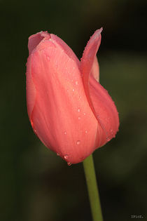 Tulip after rain, pink by Ines Schaefer
