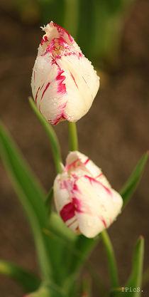Tulips von Ines Schaefer
